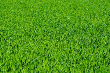 Få hurtigt en grøn og smuk have med rullegræs